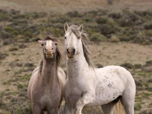 Mustang / Wild Horse, Grey Stallion and Filly, Wyoming, USA Adobe Town Hma by Carol Walker