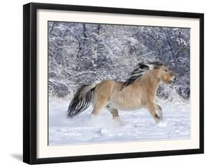Norwegian Fjord Mare Running in Snow, Berthoud, Colorado, USA by Carol Walker