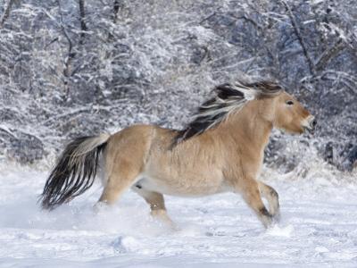 Norwegian Fjord Mare Running in Snow, Berthoud, Colorado, USA by Carol Walker