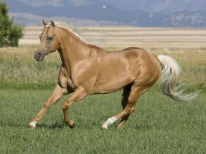 Palomino Stallion Running in Field, Longmont, Colorado, USA by Carol Walker
