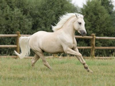 Palomino Welsh Pony Stallion Galloping in Paddock, Fort Collins, Colorado, USA