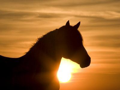 Silhouette of Wild Horse Mustang Pinto Mare at Sunrise, Mccullough Peaks, Wyoming, USA