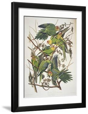 Carolina Parakeet  from Birds of America  1829