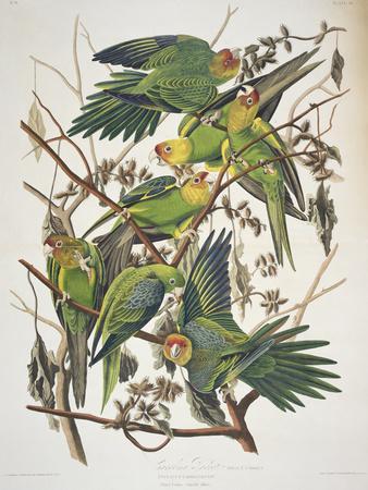 https://imgc.allpostersimages.com/img/posters/carolina-parakeet-from-birds-of-america-1829_u-L-O4I4S0.jpg?p=0