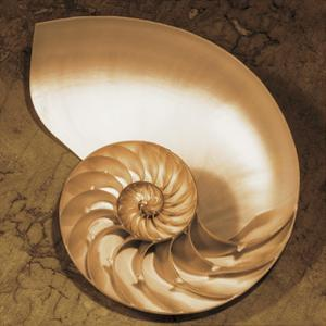 Chambered Nautilus by Caroline Kelly