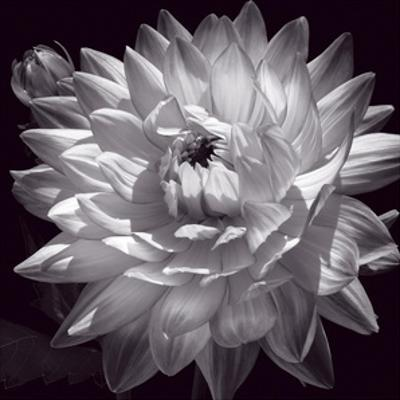 White Dahlia II by Caroline Kelly