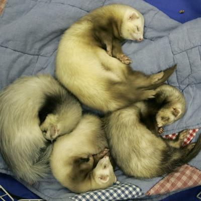A Pack of Ferrets Clockwise from Top, Chewbacca, Hobart, Dixie B, Wolfgang Amadeaus Motzart
