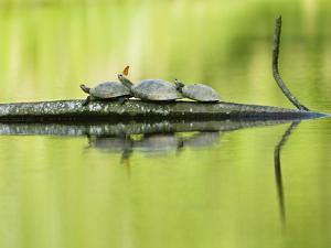 A Butterfly Alights on a Turtle Resting on a Tree Branch by Carrie Vonderhaar