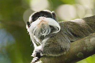 Small, 400 Gram, Emperor Tamarins are Agile and Leap Easily
