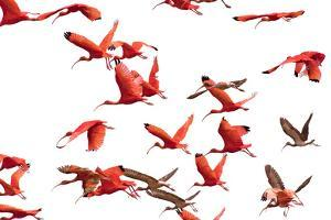 The Adult Male and Female Scarlet Ibis, Eudocimus Ruber, Are Bright Red by Carrie Vonderhaar