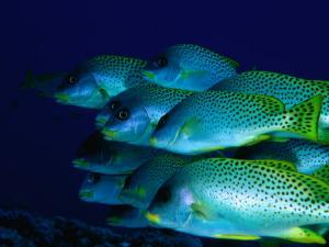 A School of Blackspotted Sweetlips (Pfectorhinchus Geterinus), Red Sea, Egypt by Casey Mahaney