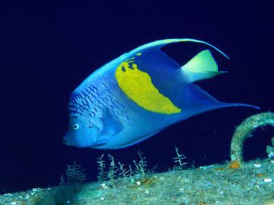 Arabian Angelfish (Pomacanthus Maculosus), Red Sea and Arabian Sea, Egypt by Casey Mahaney
