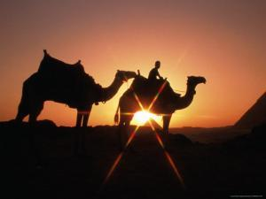 Camels and Pyramids in Background, Cairo, Egypt by Casey Mahaney