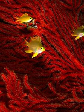 Juvenile Golden Damsels in Branches of Red Seafan in Fantasy Dome, Fiji by Casey Mahaney