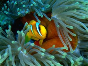 Red Sea Anemonefish(Amphiprion Bicinctus), Red Sea and Gulf of Aden, Egypt by Casey Mahaney
