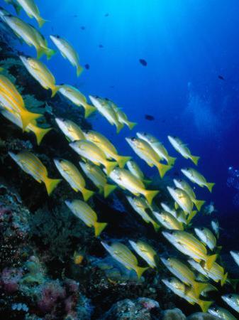 School of Blue Stripe Snappers (Lutjanus Kasmira) at Reef, Palau, Palau by Casey Mahaney
