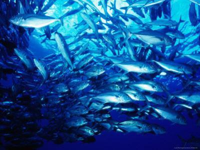 School of Jack Fish, Solomon Islands by Casey Mahaney