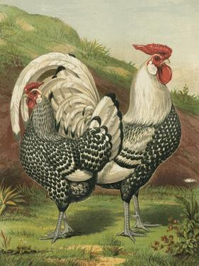 Cassell's Roosters III by Cassel