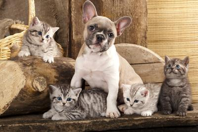 https://imgc.allpostersimages.com/img/posters/cat-and-dog-british-kittens-and-french-bulldog-puppy-in-retro-background_u-L-Q10372K0.jpg?p=0
