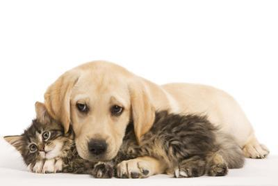 Cat and Dog Labrador Puppy and Norwegian Forest Cat Kitten