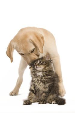 Cat and Dog Labrador Puppy 'Kissing' Norwegian