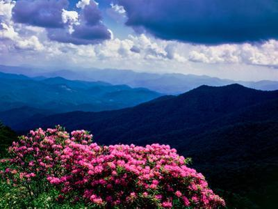 Catawba rhododendron in bloom, Yellow Face Overlook, Blue Ridge Parkway, North Carolina, USA