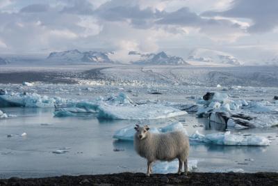 Jškulsarlon - Glacier Lagoon, Morning Light, Sheep