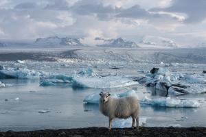 Jškulsarlon - Glacier Lagoon, Morning Light, Sheep by Catharina Lux