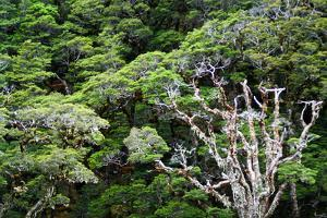 New Zealand, Fjordland National Park, Greenstone Track, Rainforest by Catharina Lux