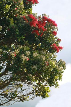 New Zealand, North Island, Pohutukawa, Ironwood Tree by Catharina Lux