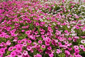 South Africa, Capetown, the Company's Garden, Petunias by Catharina Lux