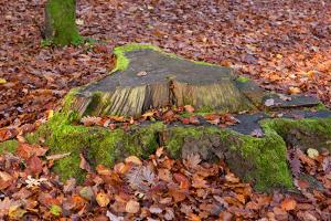 The Baltic Sea, National Park Jasmund, Beech Forest in Autumn, Tree Stump, Foliage by Catharina Lux