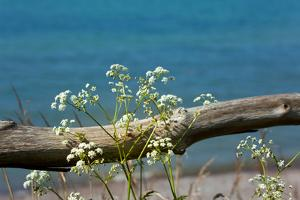 The Baltic Sea, RŸgen, Yarrow in Front of Blue Sea by Catharina Lux