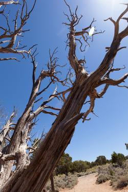USA, Grand Canyon National Park, Dead Tree by Catharina Lux
