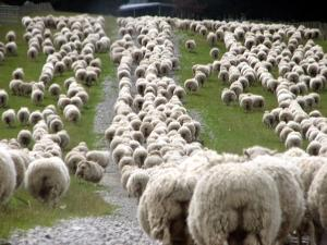 Romney Sheep Mob Trailing to Yards. by Cathie Bell