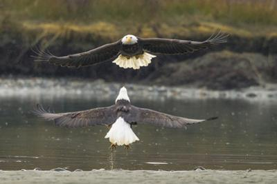 Alaska, Chilkat Bald Eagle Preserve. Bald Eagles Fighting in the Air by Cathy & Gordon Illg