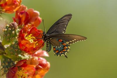 Arizona, Sonoran Desert. Pipevine Swallowtail Butterfly on Blossom by Cathy & Gordon Illg