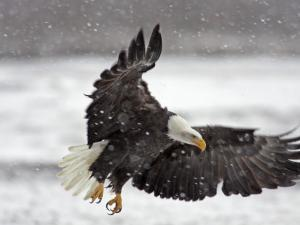 Bald Eagle Flies in Snowstorm, Chilkat Bald Eagle Preserve, Alaska, USA by Cathy & Gordon Illg