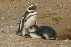 Chile, Patagonia, Isla Magdalena. Magellanic Penguin and Chick at Nest by Cathy & Gordon Illg