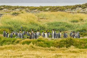 Chile, Patagonia, Tierra del Fuego. King Penguin Colony by Cathy & Gordon Illg