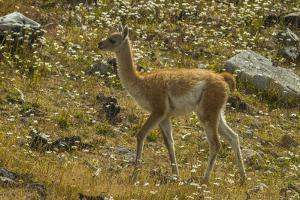 Chile, Patagonia, Torres del Paine National Park. Young Guanaco by Cathy & Gordon Illg
