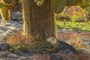 Ecuador, Galapagos National Park. Land Iguana and Cactus by Cathy & Gordon Illg