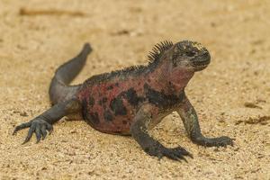Ecuador, Galapagos National Park. Marine Iguana on Sand by Cathy & Gordon Illg