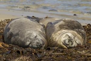 Falkland Islands, Carcass Island. Southern Elephant Seals, Sleeping by Cathy & Gordon Illg
