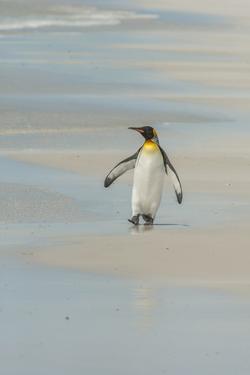 Falkland Islands, East Falkland. King Penguin Walking on Beach by Cathy & Gordon Illg