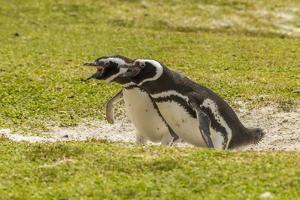 Falkland Islands, East Falkland. Magellanic Penguins Braying by Cathy & Gordon Illg