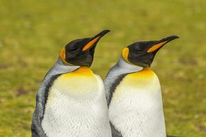 Falkland Islands, East Falkland. Pair of King Penguins by Cathy & Gordon Illg
