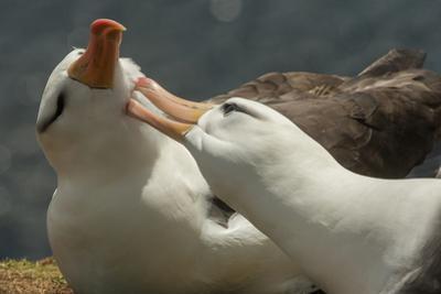Falkland Islands, Saunders Island. Black-Browed Albatross Courtship by Cathy & Gordon Illg