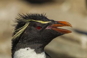 Falkland Islands, Saunders Island. Rockhopper Penguin Portrait by Cathy & Gordon Illg