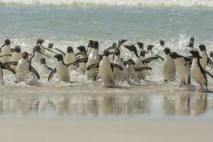 Falkland Islands, Saunders Island. Rockhopper Penguins Returning by Cathy & Gordon Illg
